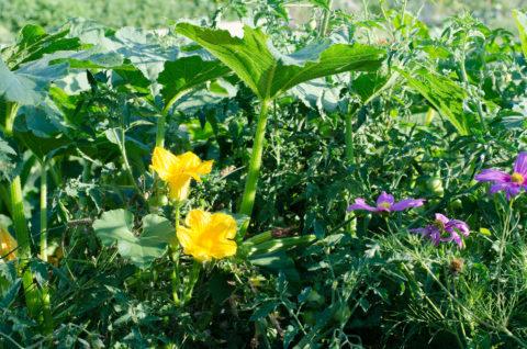Fleure de courgette
